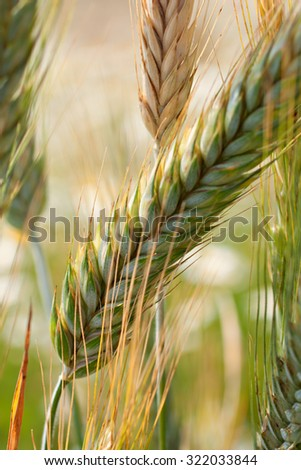Close-up of spikelets of wheat, field of wheat on background - stock photo