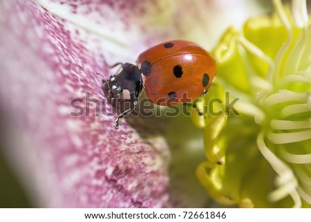 Close up of 7 Spot Ladybug on spotted petal of Christmas Rose, Helleborus Niger in Winter