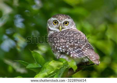 Close up of Spotted owlet(Athene brama) looking at us in nature at Suanluang R.9 ,Thailand - stock photo