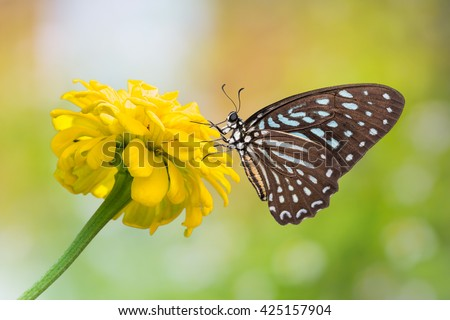 Tìm hiểu Bướm - Page 7 Stock-photo-close-up-of-spotted-zebra-graphium-megarus-butterfly-perching-on-marigold-flower-side-view-425157904