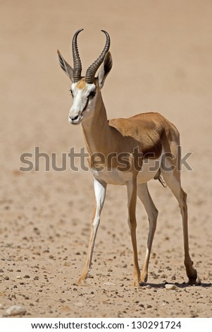 Close-up of springbok walking in desert; Antidorcas marsupialis - stock photo