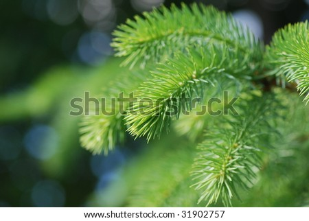 close up of spruce branch - stock photo