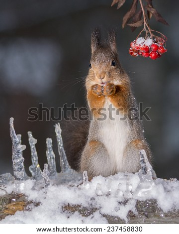 close up of squirrel standing on ice and snow with icicles and berries looking in the camera - stock photo