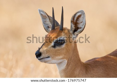 Close-up of steenbok ram head with beautiful horns detail standing in the shade