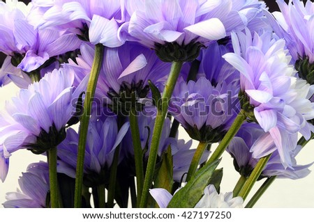Close up of stems and Bouquet of white and purple flower aster - stock photo