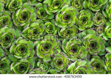 close-up of succulent (Sempervivum) carpet background, top view - stock photo