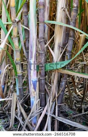 Close up of sugarcane plantation. - stock photo