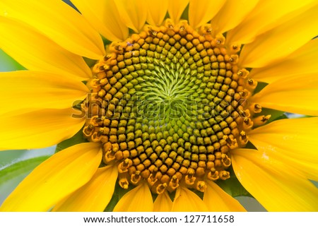 Close Up of Sun Flower - stock photo