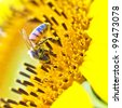 Close-up of sun flower and bee - stock photo