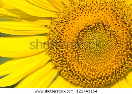 Close up of sunflower. - stock photo