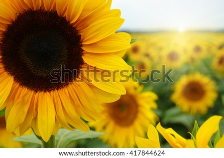 Close up of sunflower against a field