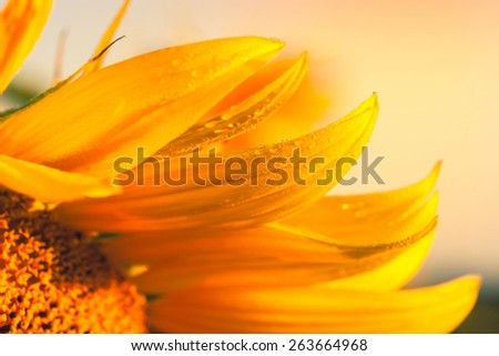 Close up of sunflower on field in Hungary - stock photo