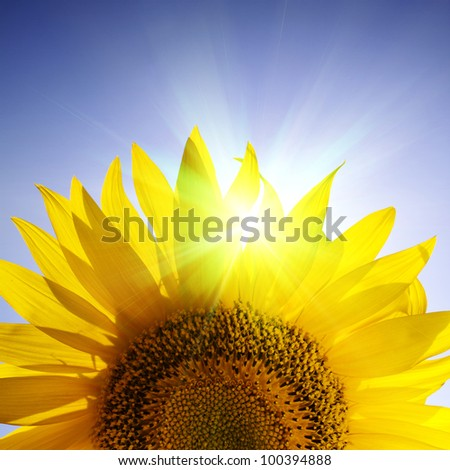 Close-up of sunflower over blue sky - stock photo