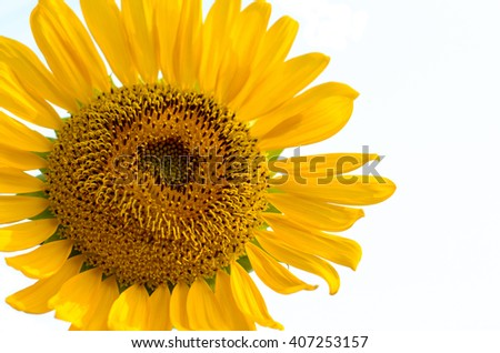Close up of sunflower pollen on white background