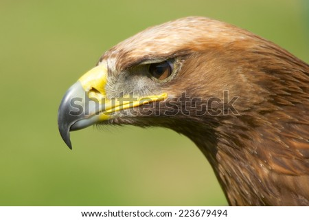 Close-up of sunlit golden eagle head staring - stock photo