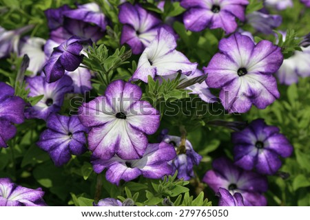 Close Up of surfinia  full bloom in spring  - stock photo