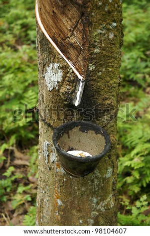 Close up of tapping latex from rubber tree