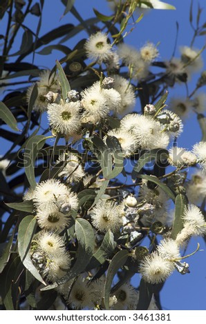 Close up of Tasmanian Blue Gum in flower(Eucalyptus globulus), floral emblem of Tasmania
