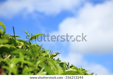 Close-up of tea leaves - stock photo
