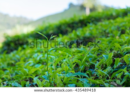 Close up of tea leaves in tea plantations at Cameron Highlands, Malaysia. - stock photo