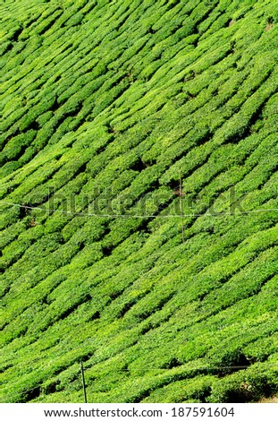 Close up of tea plantation taken in Cameron Highlands, Malaysia - stock photo