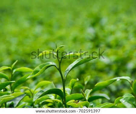 Close-up of tea plants on the field at summer day.