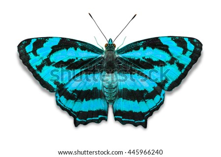 Close up of teal color Common Jester (Symbrenthia lilaea) butterfly, isolated on white background with clipping path