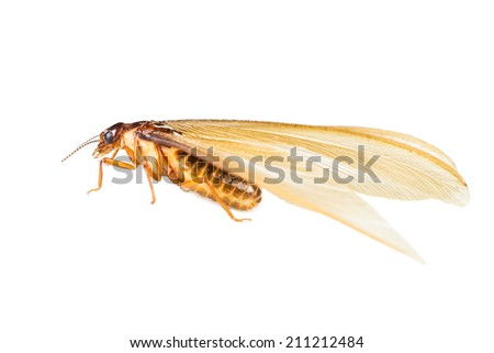 Close up of termite white ant on white background - stock photo