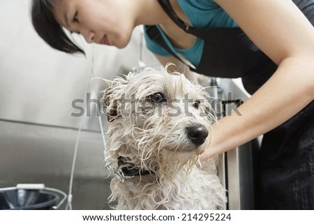 Close-up of Terrier dog being washed by a female groomer - stock photo