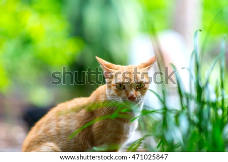 Close up of Thai cat,looking at camera,selective focus of eye cat