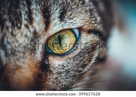 Close-up of Thai cat's eye
