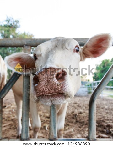 Close up of Thai cow in the farm - stock photo