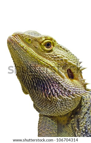 Close-up of the Bearded Dragon head on a white background.  - stock photo