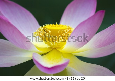 Close up of the beautiful lotus flower. - stock photo