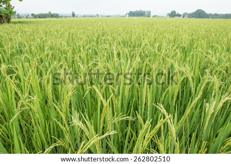 close up of the beautiful Rice field in farmland food of Asia in Thailand - stock photo