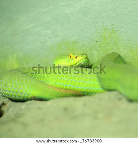 Close up of the Big-eyed Pit Viper  - stock photo