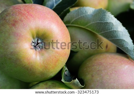 Close-up of the bottom of a red and green apple growing with others on the tree,