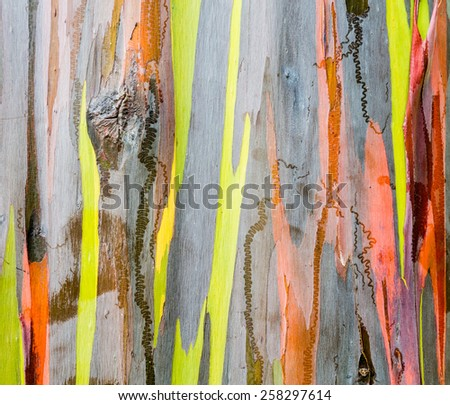 Close up of the colorful bark and tree trunk of the Rainbow Eucalyptus tree in Hawaii, USA - stock photo