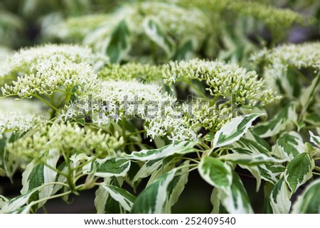 Close up of the dogwood white flowers and leaves. - stock photo