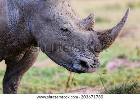 Close-up of the endangered White Rhino in Lake Nakuru National Park, Kenya - stock photo