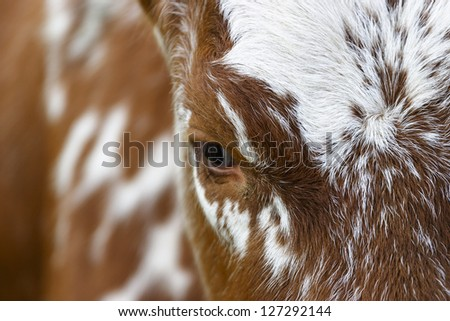 Close up of the eye of a cow