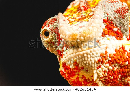 Close up of the eye of a Panther Chameleon (Furcifer pardalis) native to Madagascar - stock photo