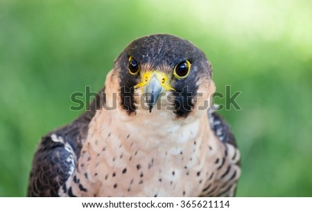 Close up of the face of a Peregrine Falcon (Falco peregrinus).