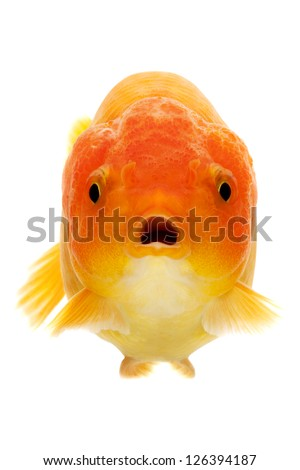 close up of the face of a red Goldfish isolated on white background
