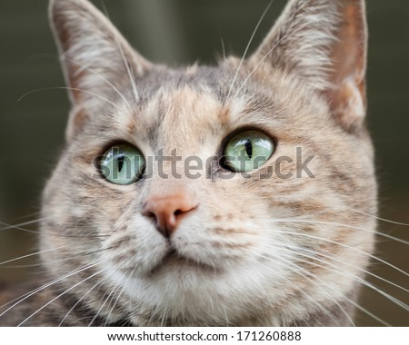 Close up of the face of a tortoiseshell-tabby cat with beautiful green eyes - stock photo