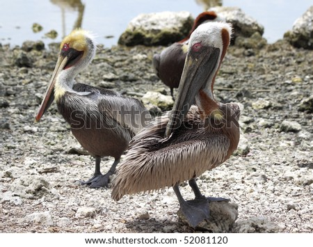 Close-up of the Florida Brown Pelican - stock photo