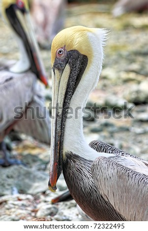 Close-up of the Florida Brown Pelican (Pelecanus Occidentalis) - stock photo