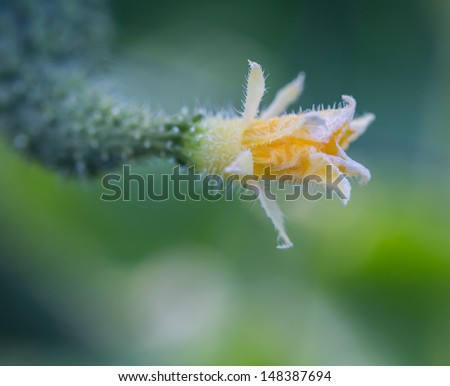 Close-up of the flower attached to an English Cucumber - stock photo