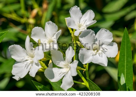 Close-up of the flowers of a white oleander. Rhodes, Greece - stock photo