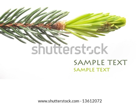 close-up of the foliage of a lovely fir tree against white background